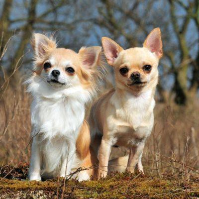 Chihuahua2